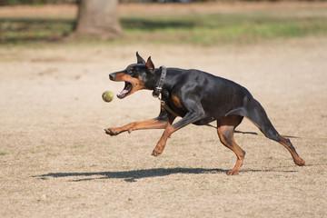 ボールをキャッチするドーベルマン