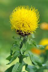 Yellow cornflower. Centaurea macrocephala