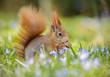Obrazy drukowane na płótnie, fototapety, zdjęcia, fotoobrazy cyfrowe : Spring squirrel