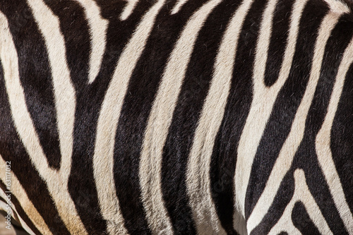 Canvas Zebra zebra