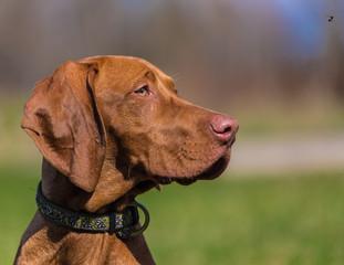 Hungarian hound portrait