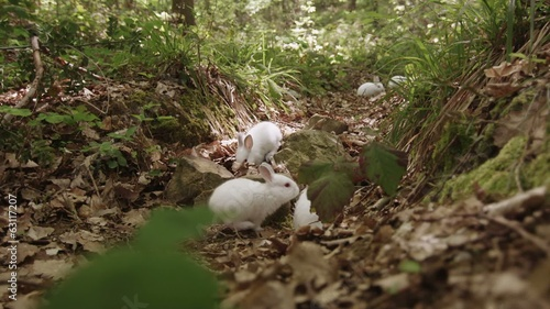Red eyed white rabbits in the forest.
