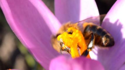 Bee on a First Spring Flower - Crocus