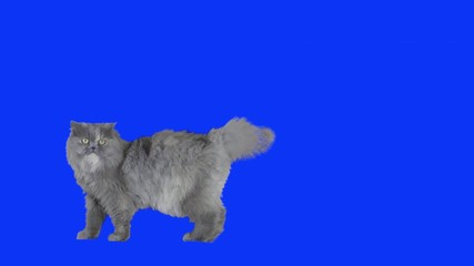 Cat on bluescreen.