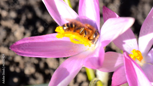 Bee on a First Spring Flower - Crocus