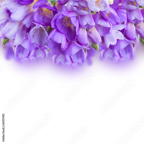 violet freesias flowers  border