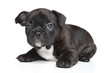 canvas print picture - French bulldog puppy (1 month)