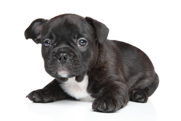 French bulldog puppy (1 month)