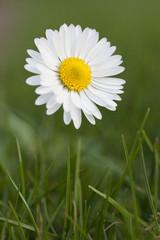 flower daisy