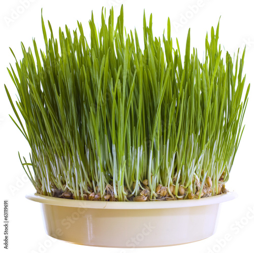 Green Wheat Cutout
