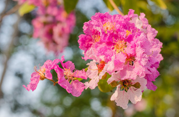 Pink Cananga odorata,sweet pink flower blooming in the garden