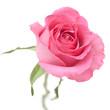 Obrazy na płótnie, fototapety, zdjęcia, fotoobrazy drukowane : rose in powder pink