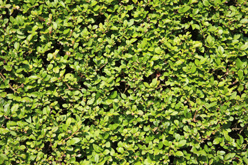 Privet hedge background
