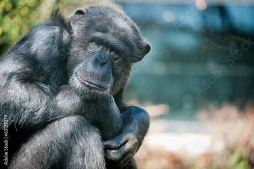 Foto op Canvas Aap Chimpanzé