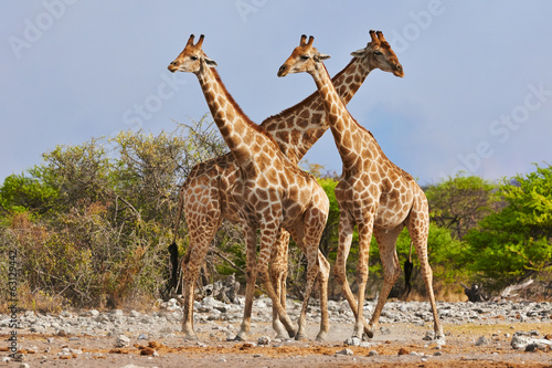 Fotobehang Giraffe three giraffes walking in Etosha National Park