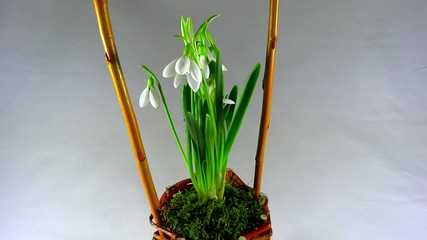 snowdrops in woven basket