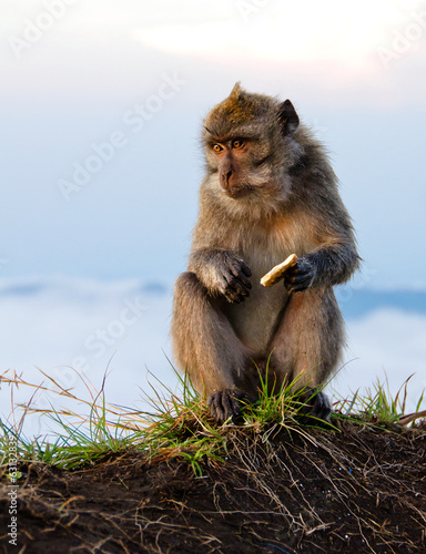 Mountain Monkey sitting and eating biscuit