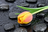 Tulipan z kamieniami bazaltowymi