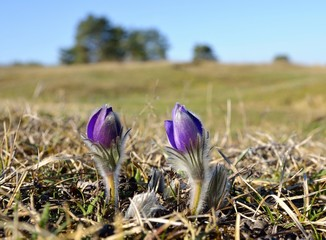 Two Mountain Pasqueflowers (Pulsatilla montana)
