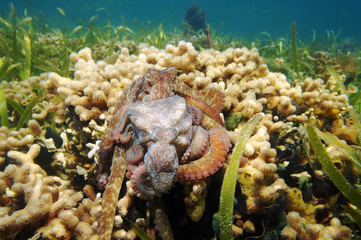 Caribbean reef octopus mating over coral