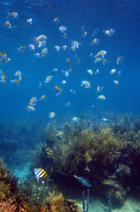 Shoal of sergeant major fish in Martinique
