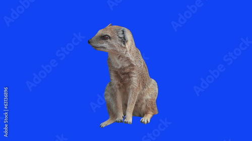 Yellow Mongoose on green and blue screen.