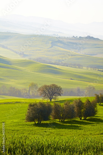 Olive trees on spring  hills in Tuscany, Italy.