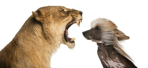 Close-up of  Lioness roaring at a Chinese Crested Dog's face