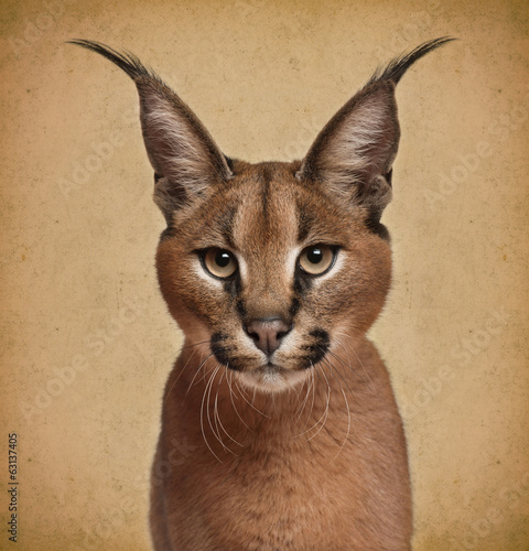 Foto op Canvas Lynx Caracal, 6 months old, in front of brown background