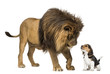 Lion standing and looking at a beagle puppy