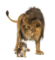 Lion sitting and looking at a chihuahua