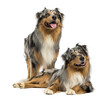 Two Australian shepherds standing, lying and looking up
