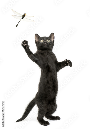 Black kitten standing and trying to catch a dragonfly