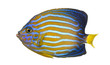 Side view of a Northern Angelfish, Chaetodontoplus septentrional