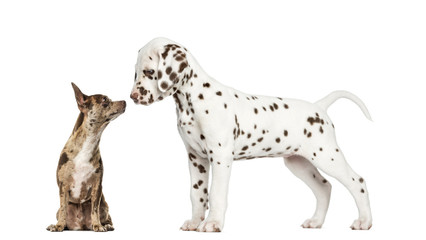 Chihuahua Pinscher sitting and dalmatian puppy standing
