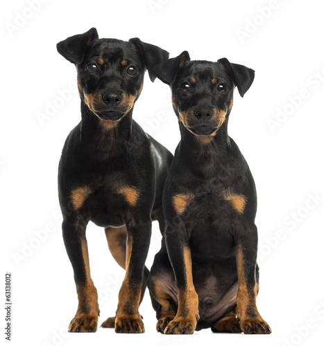 Two Pinscher sitting, standing and looking at the camera