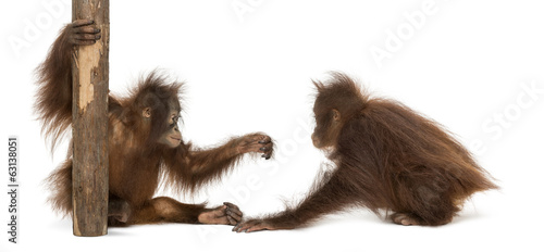 Two young Bornean orangutan playing together