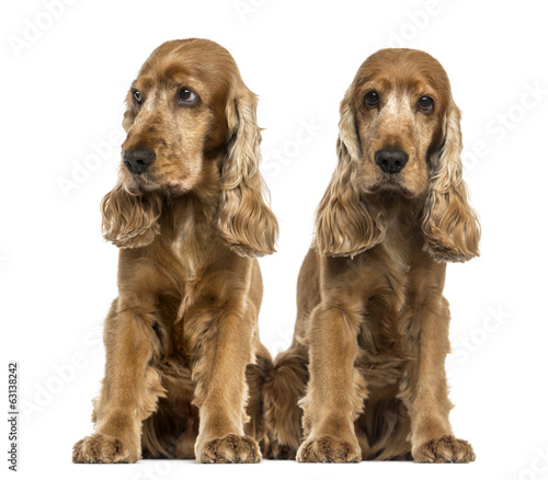 Two English Cocker Spaniels sitting