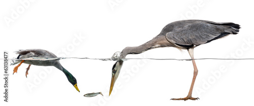 Mallard and heron diving to catch a fish