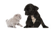 Kitten meets a French bulldog puppy sitting