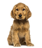 Cocker puppy sitting, looking at the camera, isolated on white - 63138679
