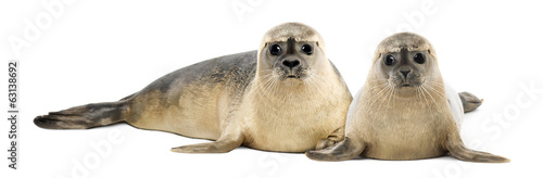 Two Common seals lying and looking