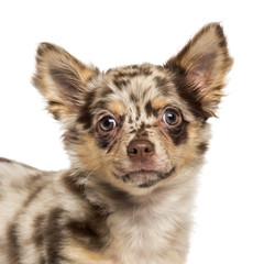 Close-up of a Chihuahua puppy looking at the camera