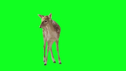 Deer on green screen.