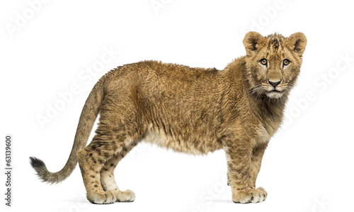 Lion cub standing and looking at the camera