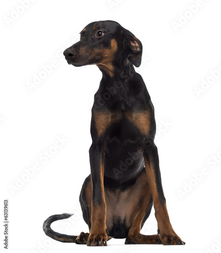 Doberman Pinscher puppy sitting and looking away