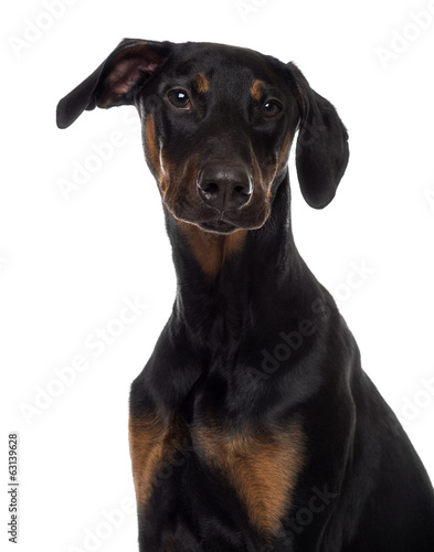 Close-up of a Doberman Pinscher puppy looking at the camera