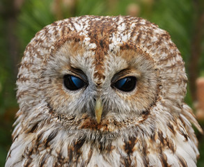 Portrait of tawny owl