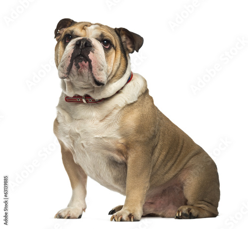 English Bulldog sitting and looking up