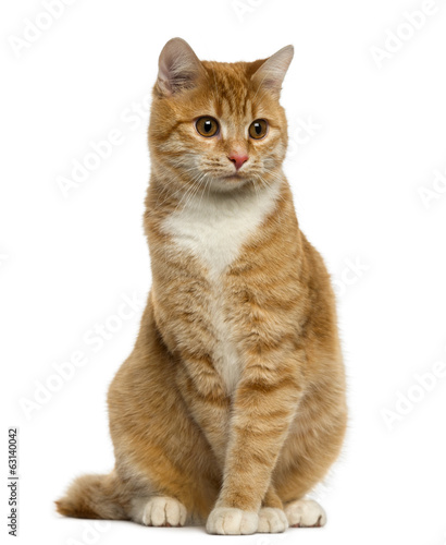 Ginger European Shorthair sitting and looking away